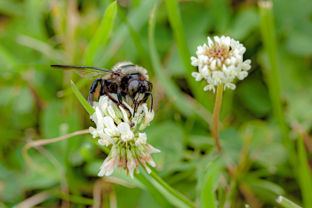 Bumblebee on clover (with surprise)