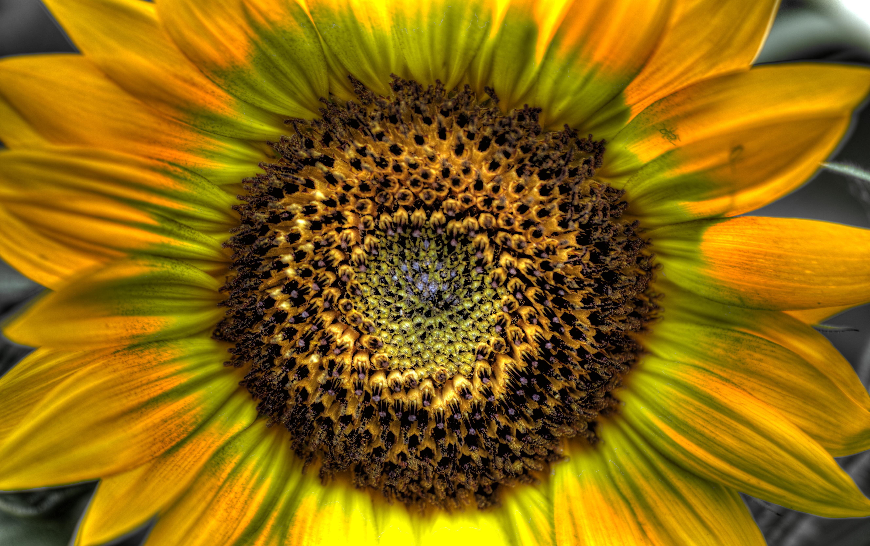 HDR Sunflower