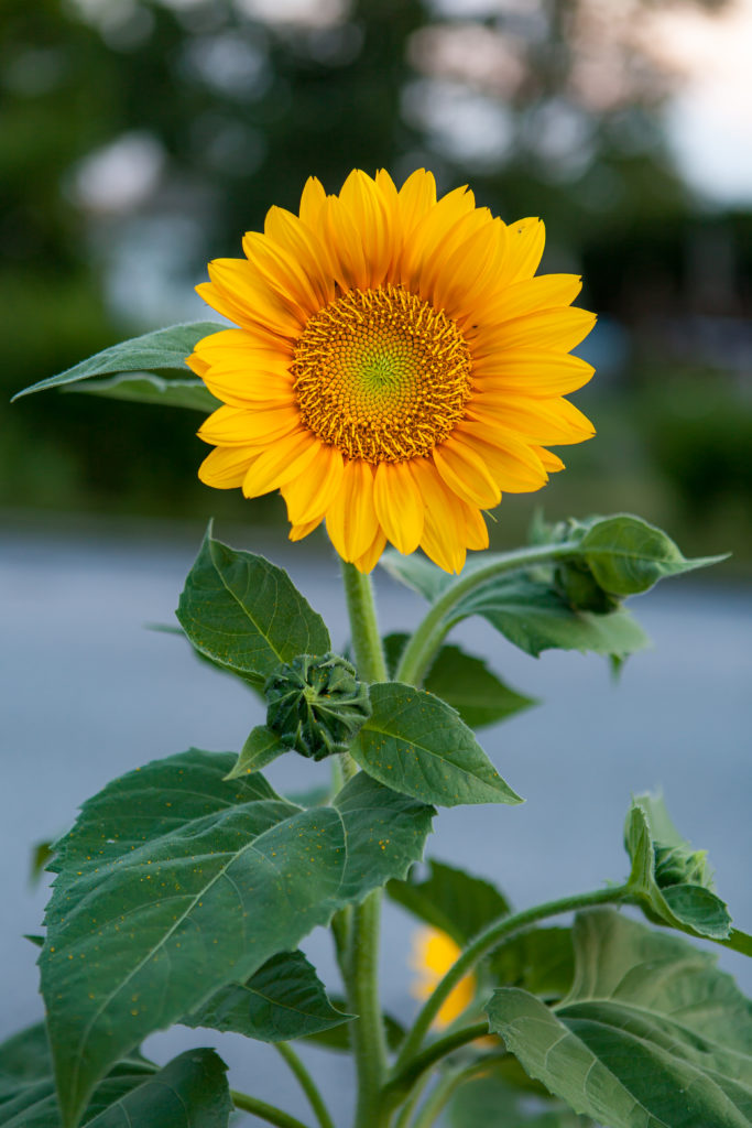 Sunflower Beauty