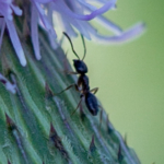 Thistle and Ant
